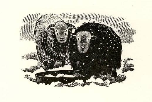 Cotswold sheep - Midwinter