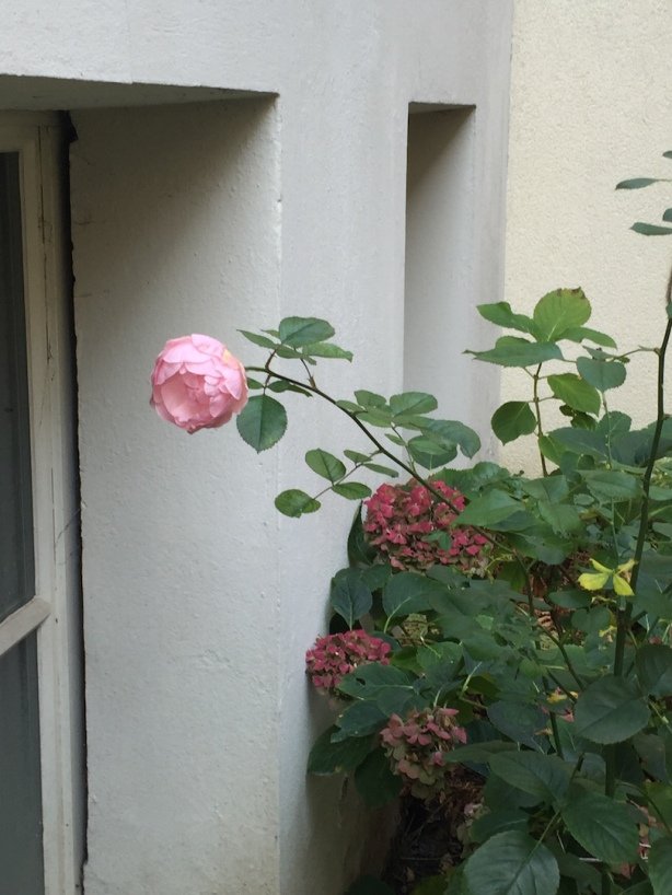 Haiku rose 26 Oct15 @KarenMargolis